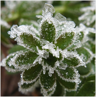 Frost on  a small green weed.