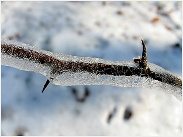 Quince branch coated with ice, with pointed needles emerging.