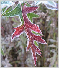 colorful oak leaf with frost