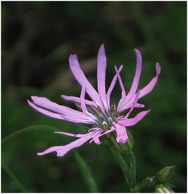 Ragged robin in bloom.