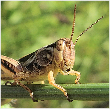 Grasshopper with striped antennae.