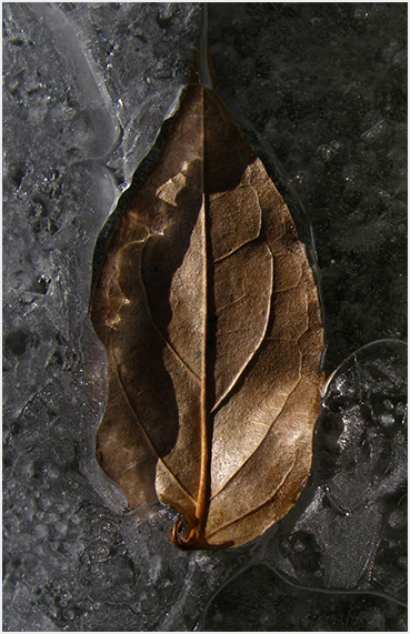 Leaf in ice.
